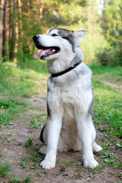 Cute sitting smiling malamute facing the camera with its mouth open seen from the front in the forest Premium Photo