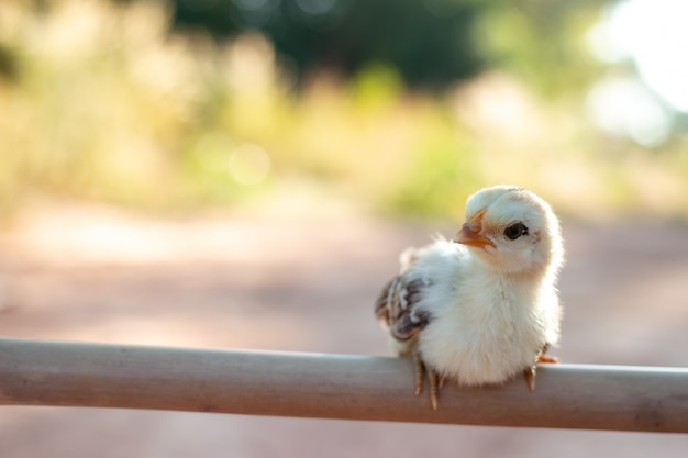 Cute small chicks in nature, the soft sunlight in the morning Premium Photo