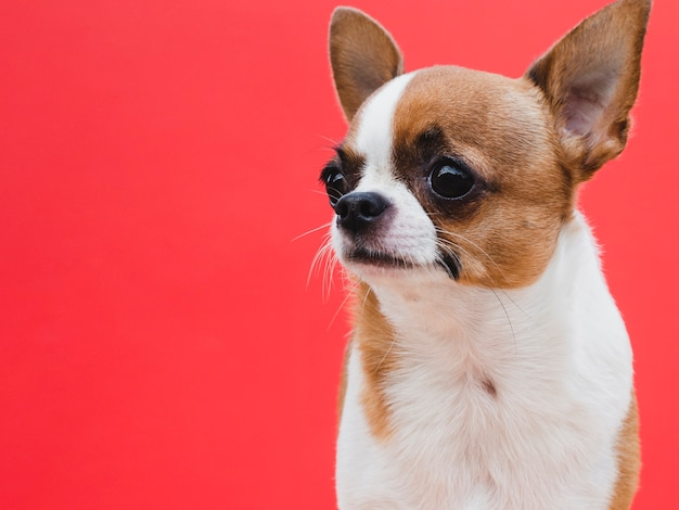 Cute small dog breed looking away red background Free Photo
