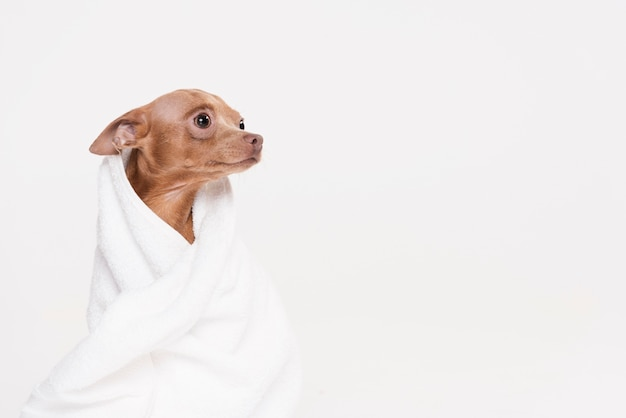 Cute small dog sitting in a towel Free Photo