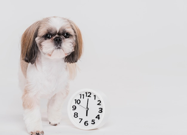 Cute small dog with a clock Free Photo