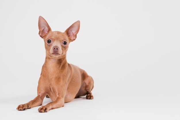 Cute small dog with copy space Free Photo