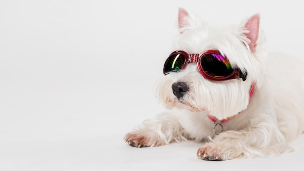 Cute small dog with glasses Free Photo