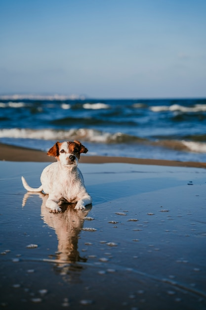 Cute small jack russell dog lying down at the beach. reflection on water Premium Photo