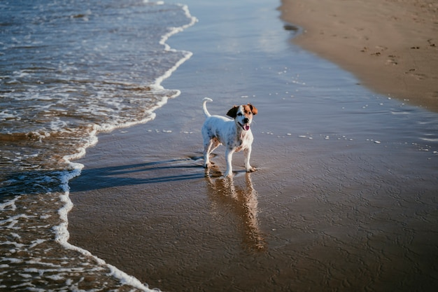 Cute small jack russell dog running by the beach Premium Photo