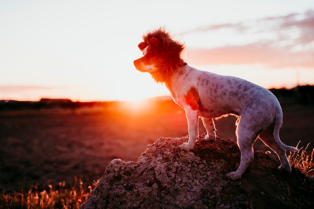Cute small jack russell terrier dog on a rock at sunset. wearing a funny lion king costume on head. pets outdoors and humor Premium Photo