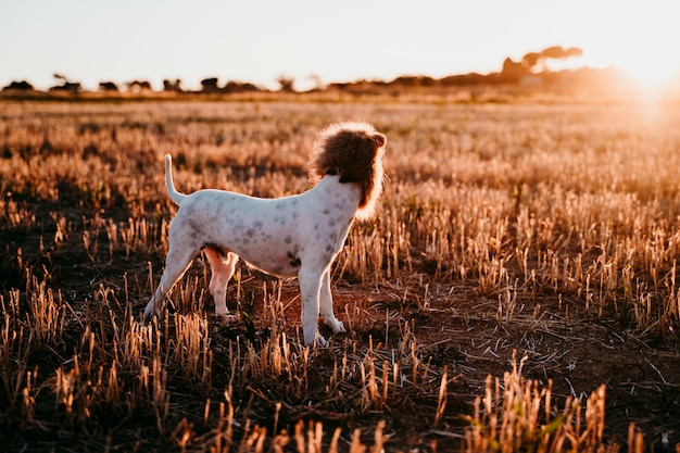 Cute small jack russell terrier dog in a yellow field at sunset. wearing a funny lion king costume on head. pets outdoors and humor Premium Photo