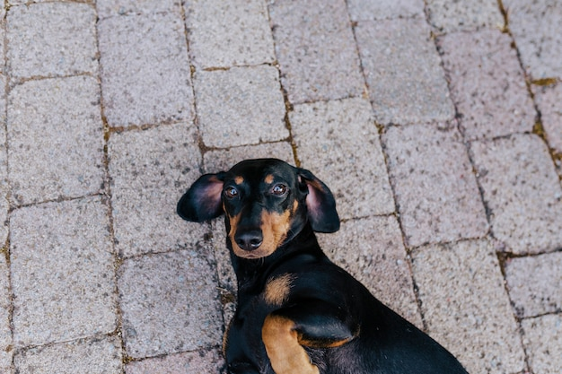 Cute small sausage dog lying on the floor outside the house and resting. pets outdoors Premium Photo