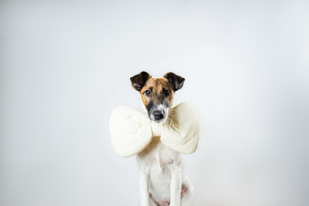 Cute smooth fox terrier puppy with toy bow tie sitting in isolated . young dog with bow tie at home posing in white Premium Photo