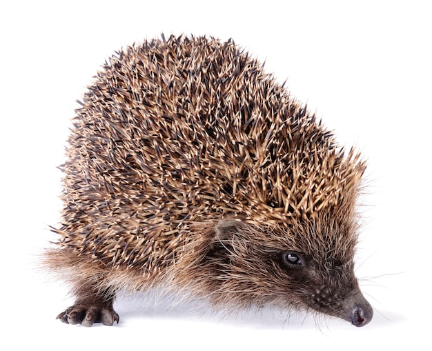 Cute spiky hedgehog isolated on white background. wild small insectivore mammal with spiny hairs. Premium Photo