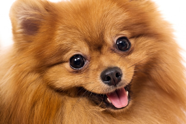 Cute spitz dog Free Photo