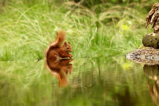 Милая белка пьет воду из озера в лесу Бесплатные Фотографии