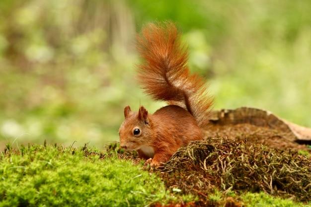 森の中の食べ物を探しているかわいいリス 無料写真