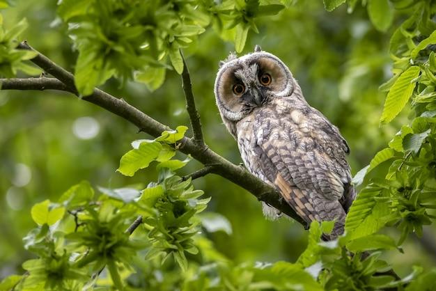 Il gufo di screech occidentale sorpreso sveglio si è appollaiato su un ramo di albero con le foglie verdi nella foresta Foto Gratuite