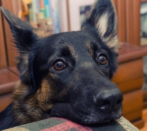 Cute thoughtful german shepherd with its head on the sofa Premium Photo