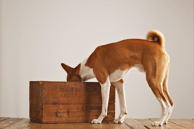 흰색에 고립 된 오래 된 갈색 와인 상자 안에 찾고 귀여운 흰색과 갈색 Basenji 개 무료 사진
