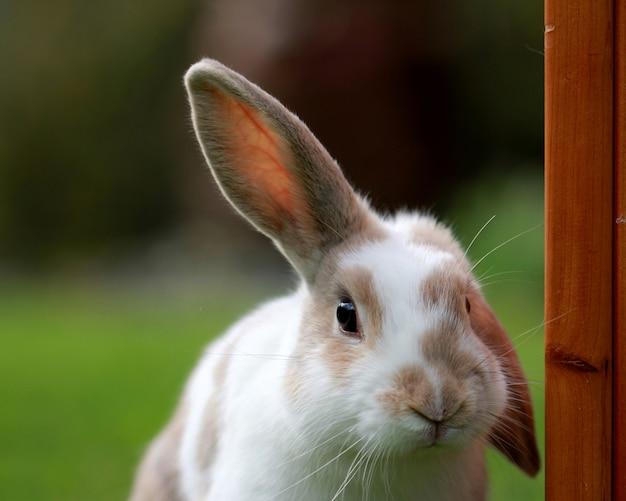 Simpatico coniglio bianco e marrone con un orecchio in un campo verde Foto Gratuite