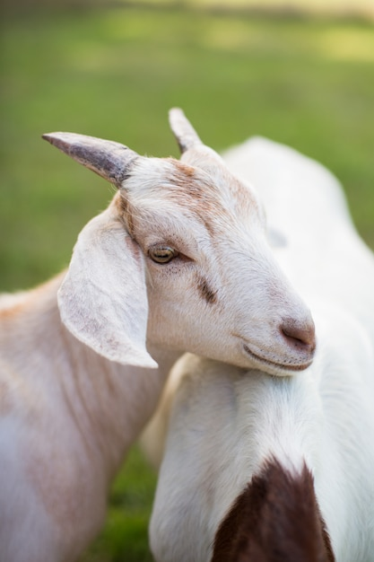 Cute white goat leaning on another goat Free Photo