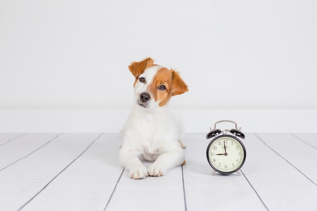 Cute white small dog lying on the floor . alarm clock with 9 am besides. wake up and morning concept. pets indoors Premium Photo