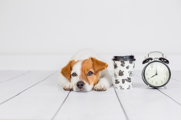 Cute white small dog lying on the floor . coffee and alarm clock with 8 am besides. wake up and morning concept. pets indoors Premium Photo