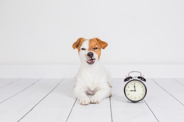 Cute white small dog lying on the floor and feeling angry. alarm clock with 9 am besides. wake up and morning concept. pets indoors Premium Photo