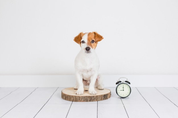 Cute white small dog sitting on the floor. alarm clock with 9 am besides. wake up and morning concept. pets indoors Premium Photo