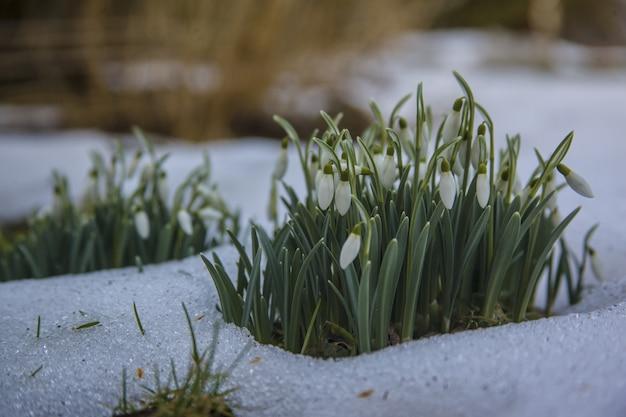 雪の降る地面にかわいい白いスノードロップの花-春の始まり 無料写真