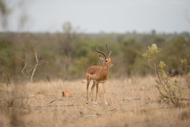 Симпатичный белохвостый олень в поле кустарников Бесплатные Фотографии