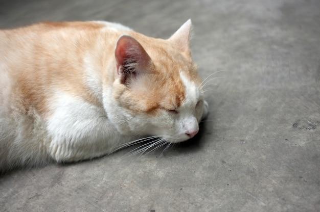 Cute yellow thai cat, lazy cat Premium Photo