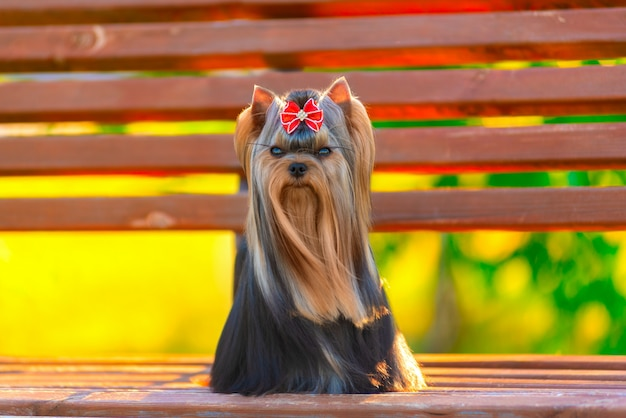 Cute yorkshire terrier dog playing in the yard Premium Photo