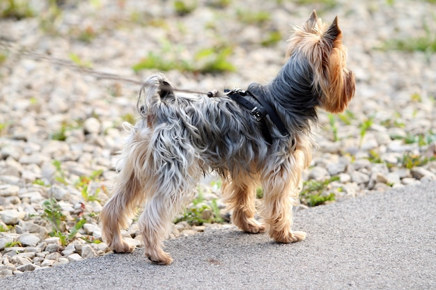 Cute yorkshire terrier Free Photo