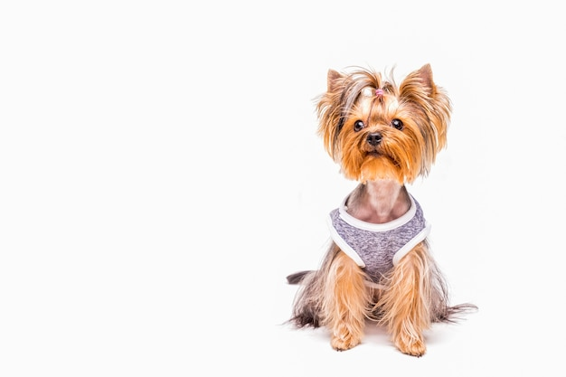 Cute yorkshire wearing cloth over white background Free Photo