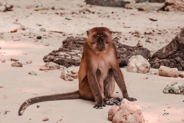 Cute young brown monkey. portrait monkey. thai monkey on walking street in lopburi city thailand Premium Photo