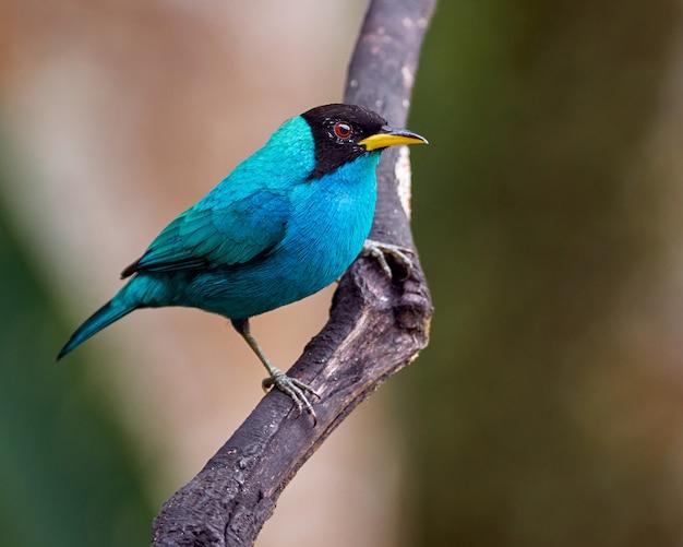 垂直の枝に腰掛けシアンの鳥 Premium写真