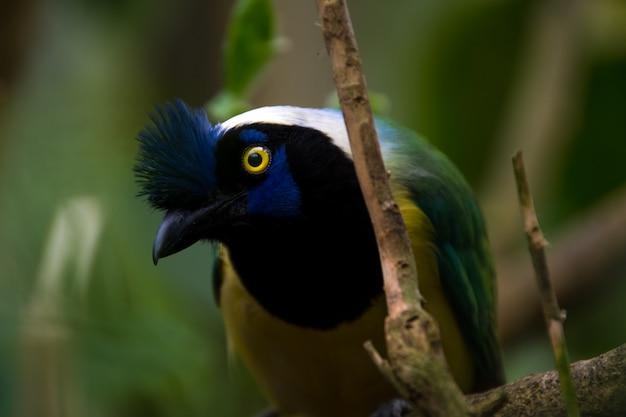 緑のジェイ(cyanocorax yncas)、黄色い目を持つ青い鳥のクローズアップ Premium写真