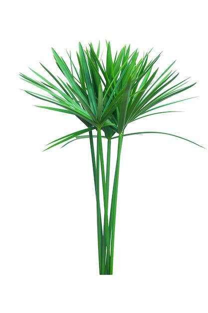 傘の植物、パピルス、cyperus alternifolius。孤立した Premium写真