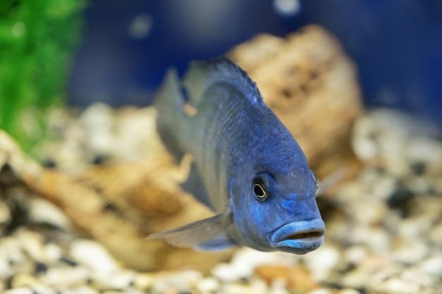 Маленькая африканская рыба cyrtocara moorii Premium Фотографии
