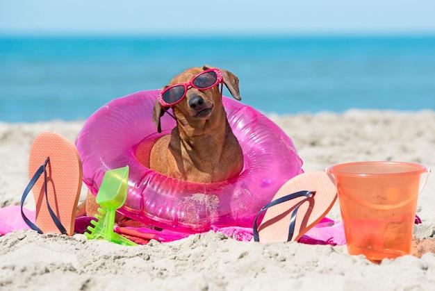 Dachshund on beach Premium Photo