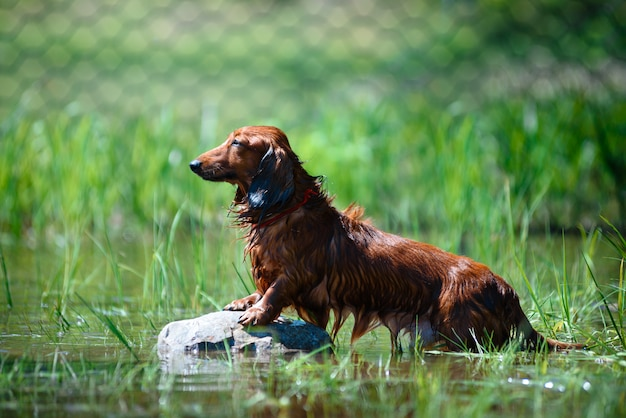 Dachshund dog sitting on a rock on the river, color brown Premium Photo