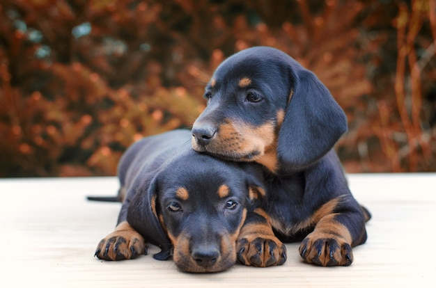 Dachshund puppies being together Free Photo