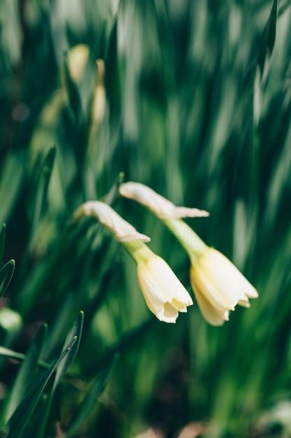 Нарцисс цветы, выращивание, теплица, весна, букет Premium Фотографии