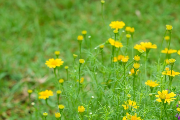 Dahlberg daisy or golden fleece flower on green background. Premium Photo