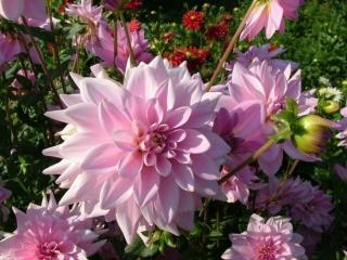 dahlia flowers photo free download