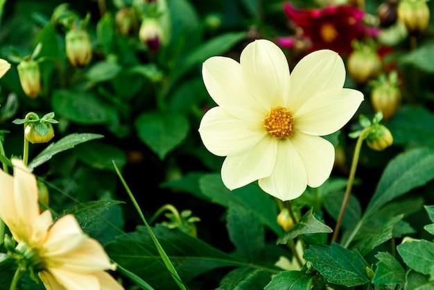 庭で育つダリアの花。 Premium写真