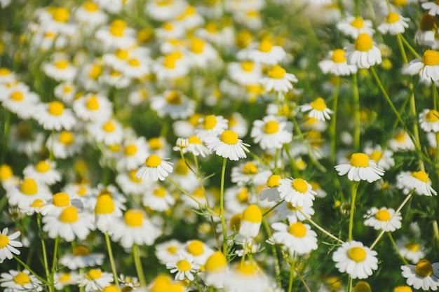 Daisy flower growing on field Free Photo