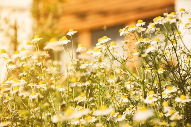 Daisy flower growing on meadow Free Photo