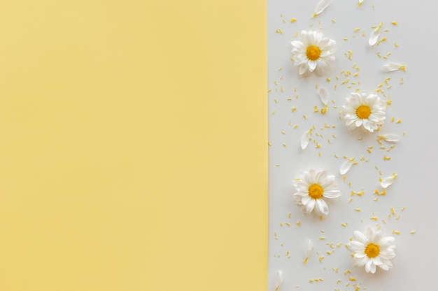 Daisy flower; pollen and petal on dual backdrop with copyspace Free Photo