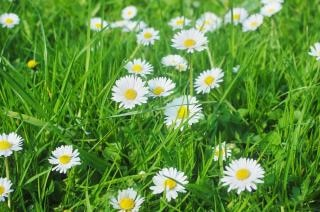 Daisy Meadow Free Photo