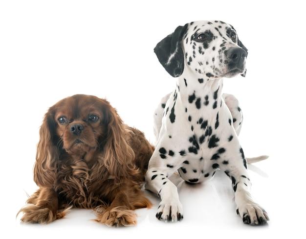 Dalmatian and cavalier king charles Premium Photo