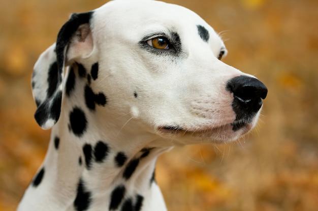 Dalmatian dog Premium Photo